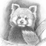 Kis panda - ceruza rajz